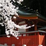 Sakura in full bloom, Komaki.