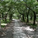 Sakura trees in Hirano Jinja.