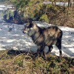Kamoshika (Japanese Serow) in the high country above Komagane.